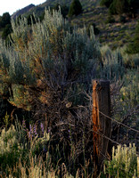 Colorado Sagebrush